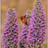 Allens Hummingbird Feeding on Pride of Madeira