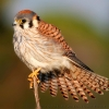 American Kestrel at Newport Bay