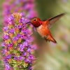 Allens Hummingbird Feeding on Pride of Madeira 2