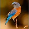 Sunset Bluebird