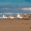 Shore Birds In The Surf