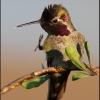 Anna's Hummingbird Blowing Rasberry