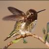 Anna's Hummingbird Stretch
