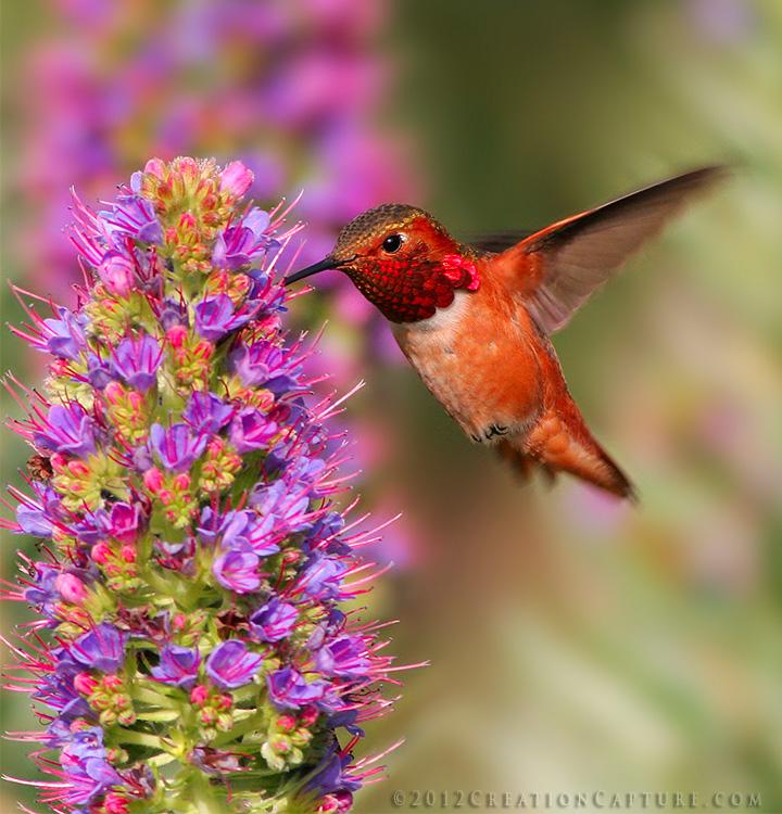 Allens Hummingbird Feeding on Pride of Madeira 2